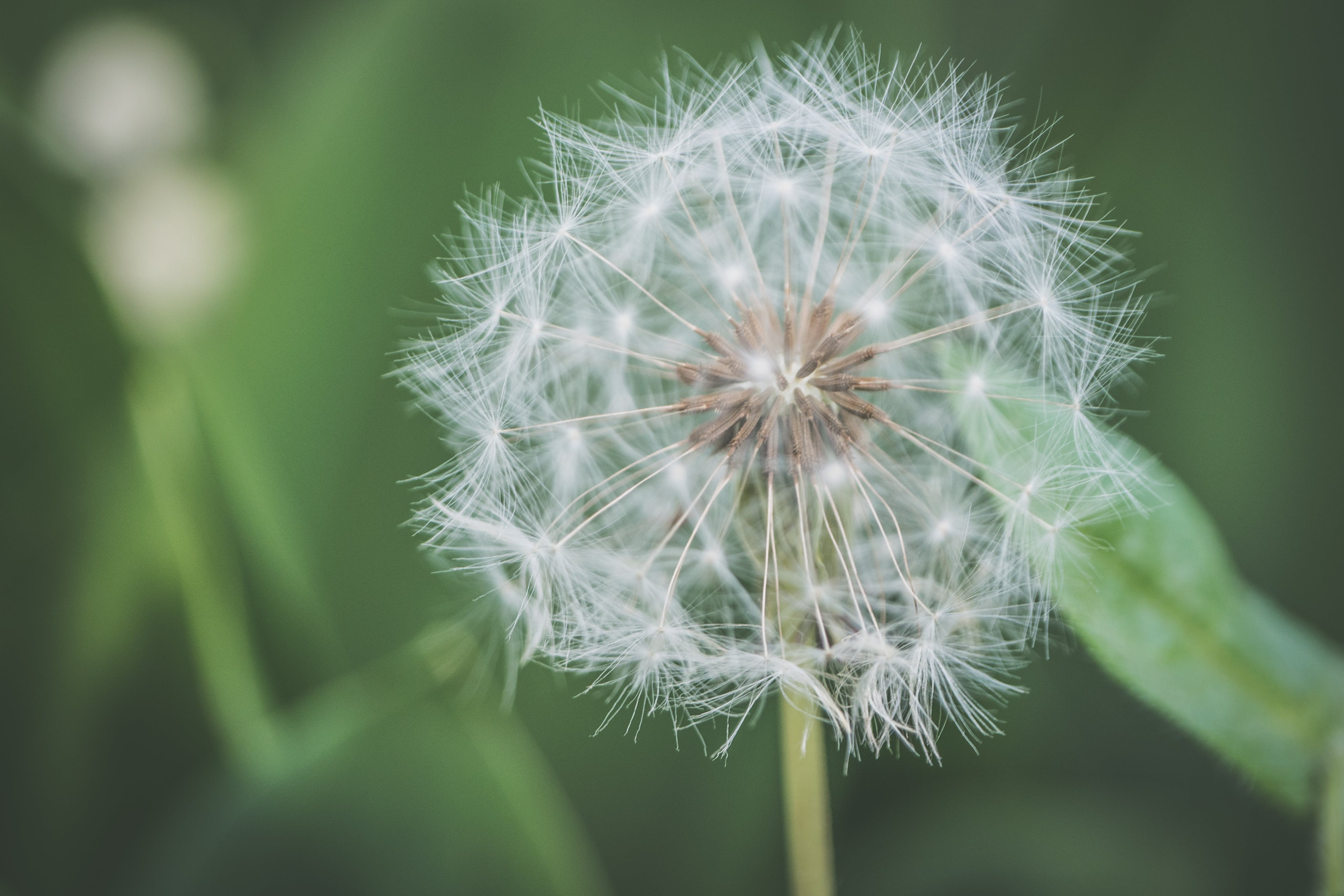Shallow Focus Photography of White Dandelion Flower
