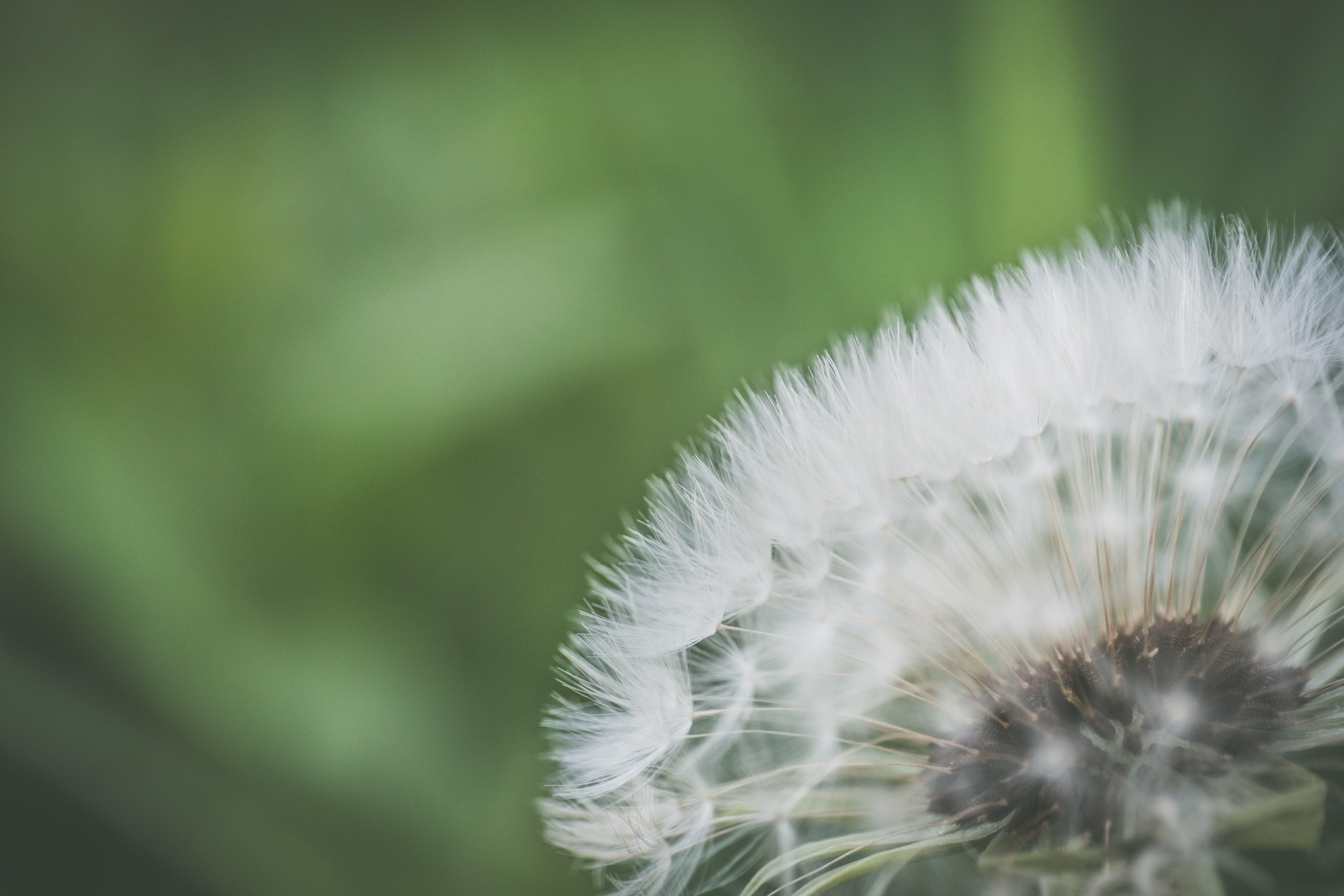 Close Up Photo of White Dandelion
