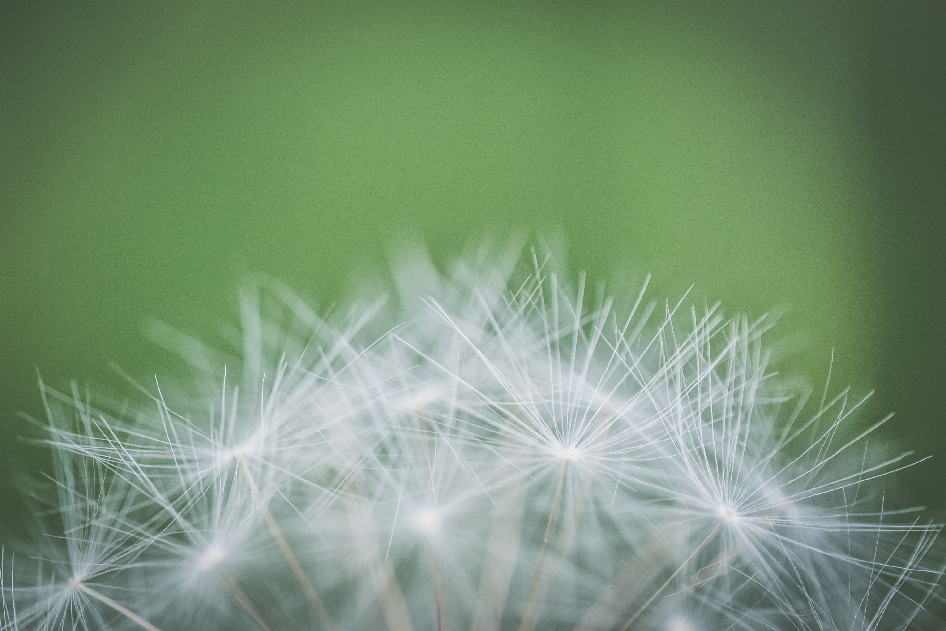 Focus Photography of Withered Dandelion