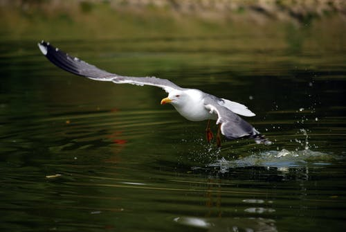 Free stock photo of sea gull, taking off, water