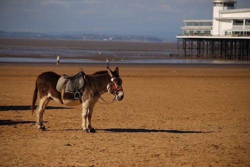 Free stock photo of beach, donkey, low tide, peir