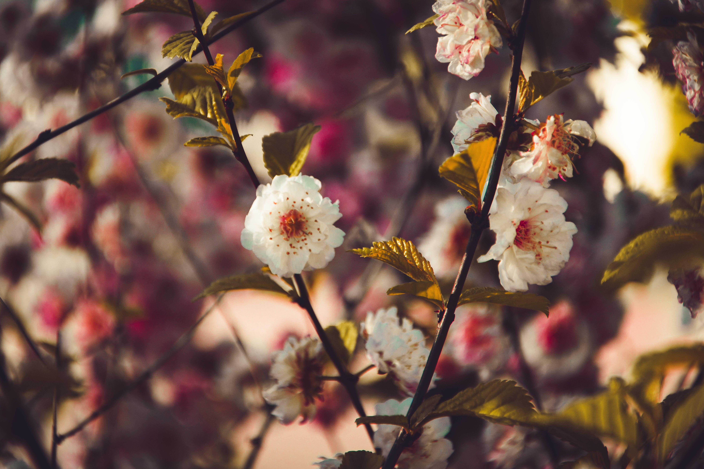 Kostenloses Stock Foto zu äste, blumen, blüte, blütenblätter