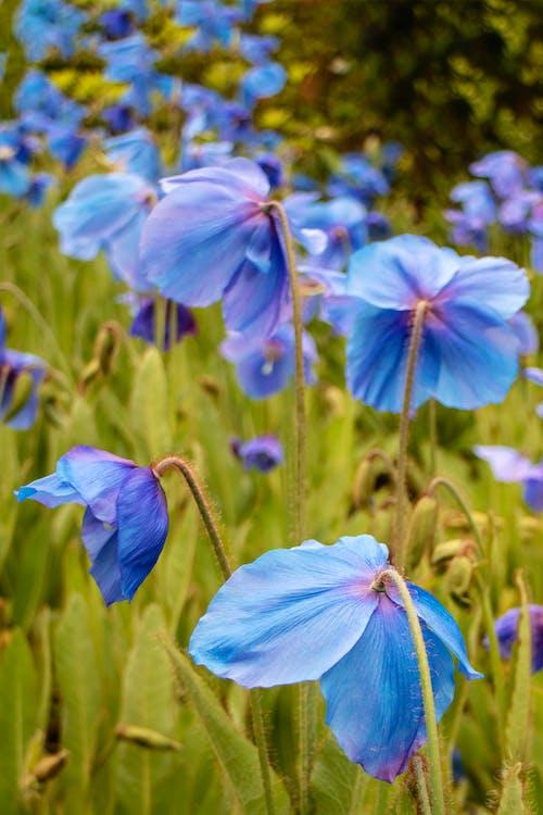 Ảnh lưu trữ miễn phí về anh túc, hoa, màu xanh da trời