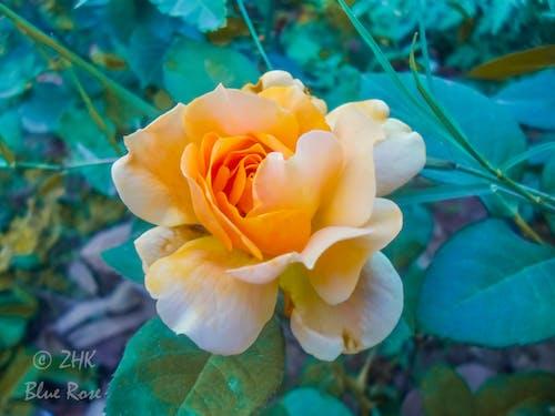 Kostenloses Stock Foto zu blume, floribunda, rosa, rosa floribunda