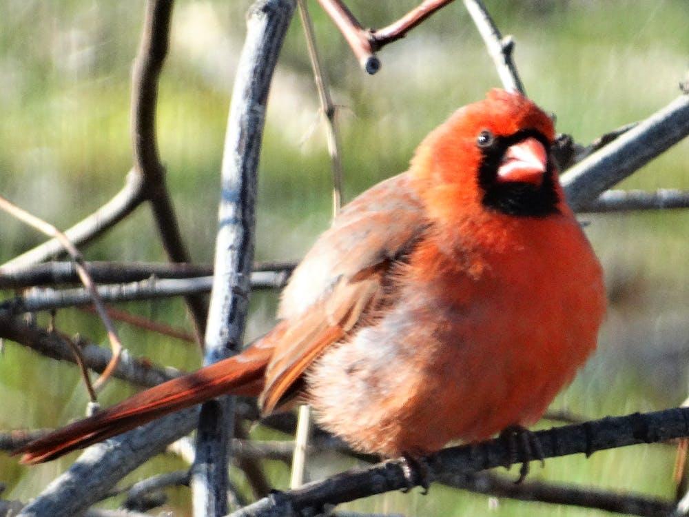 a bird, bird with black mask, cardinal