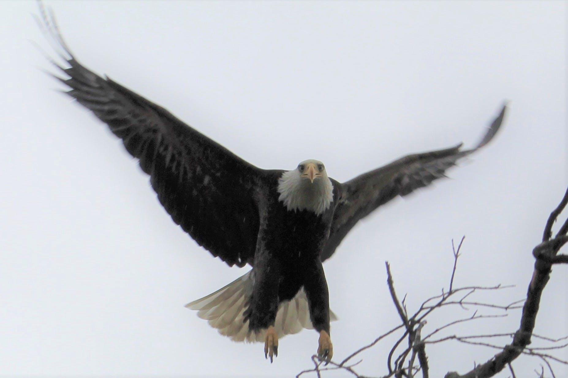 Free stock photo of #bird, #birds, #birds of prey, American bald eagle