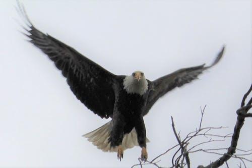 Darmowe zdjęcie z galerii z #birds, #ptak, #ptaki drapieżne, bielik amerykański
