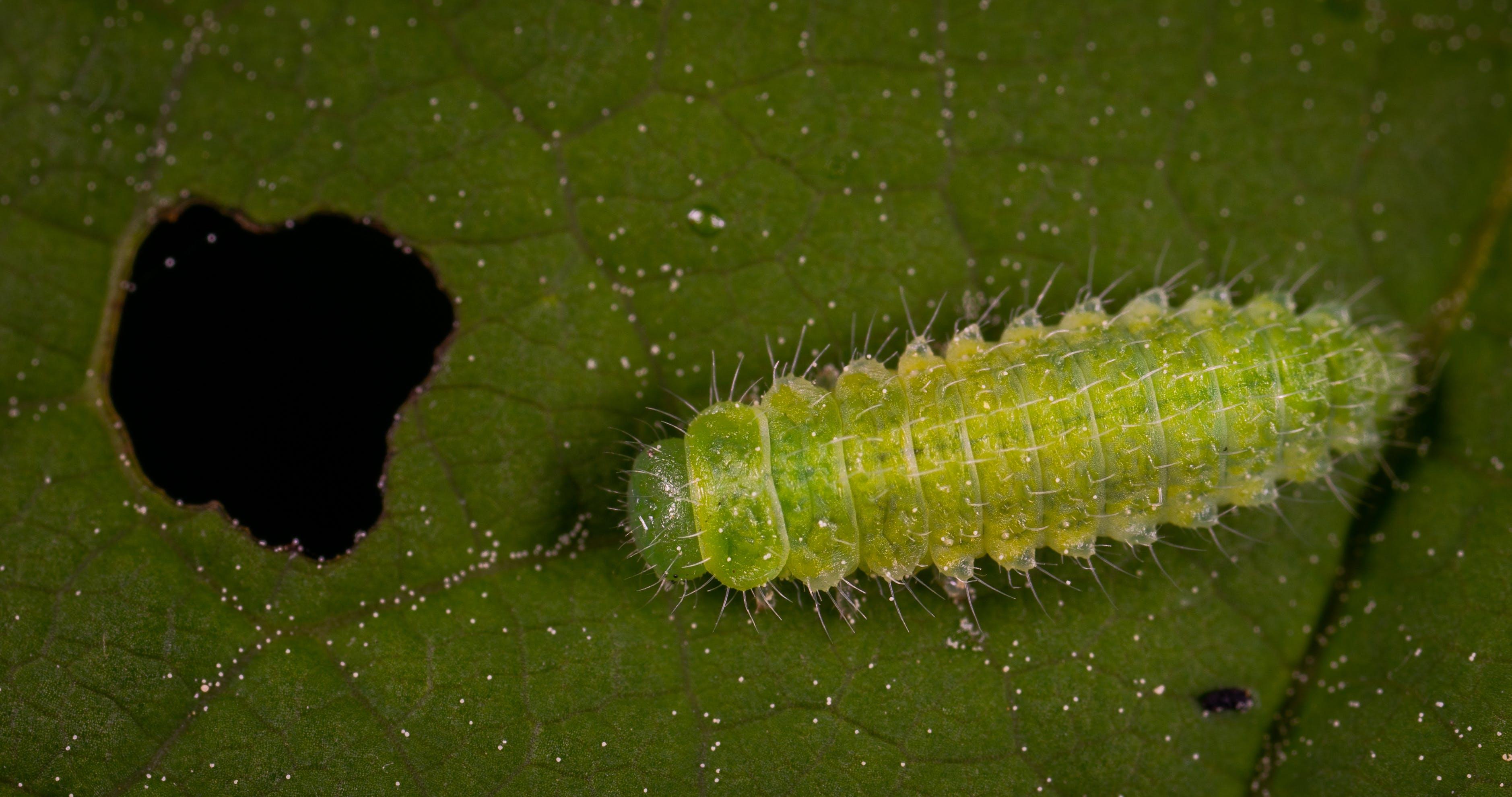 Green Worm On Green Leaf