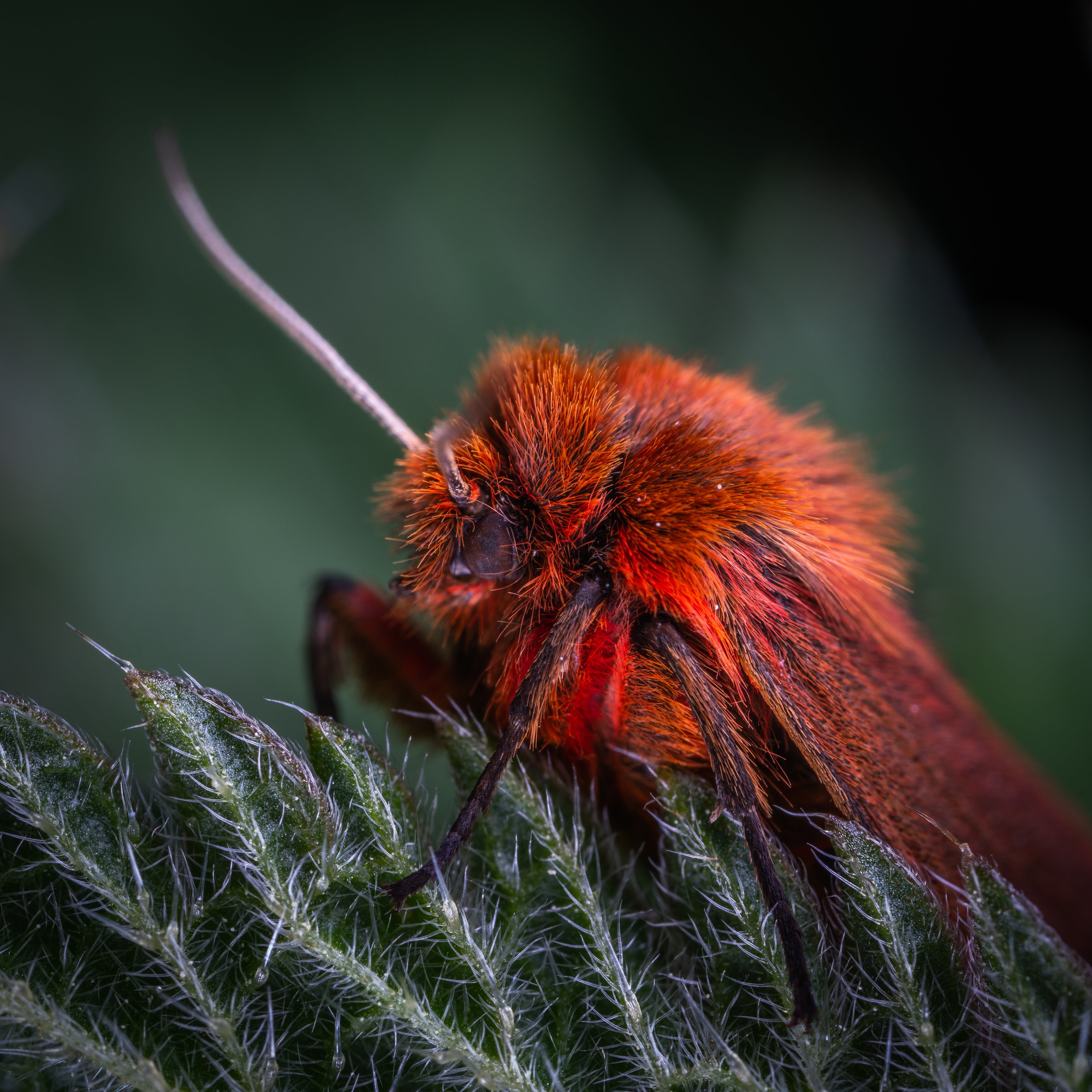 Macro Photo Of Red Poodle Moth