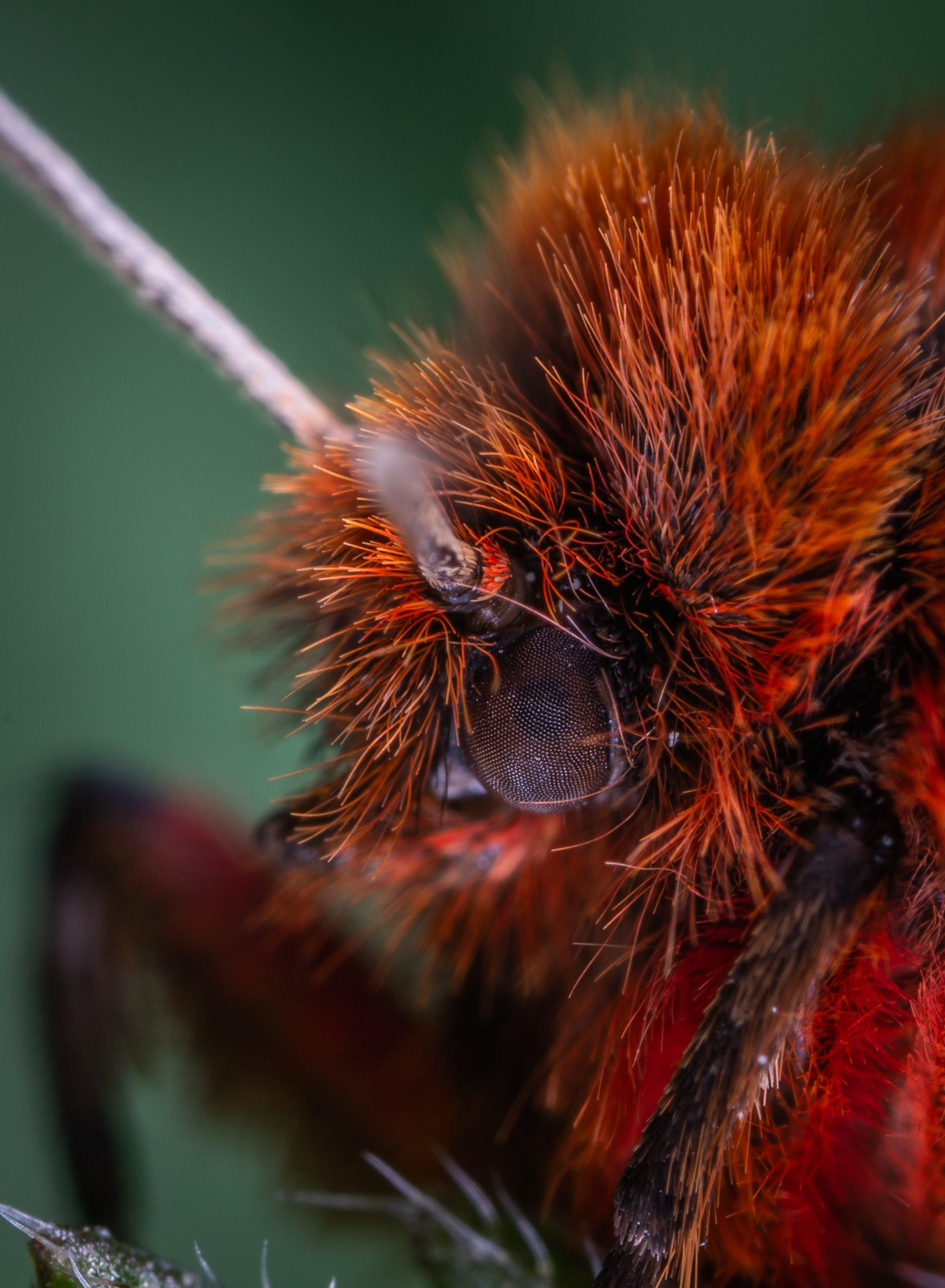 Fotobanka sbezplatnými fotkami na tému chlpatý, chrobák, detailný záber, hmyz