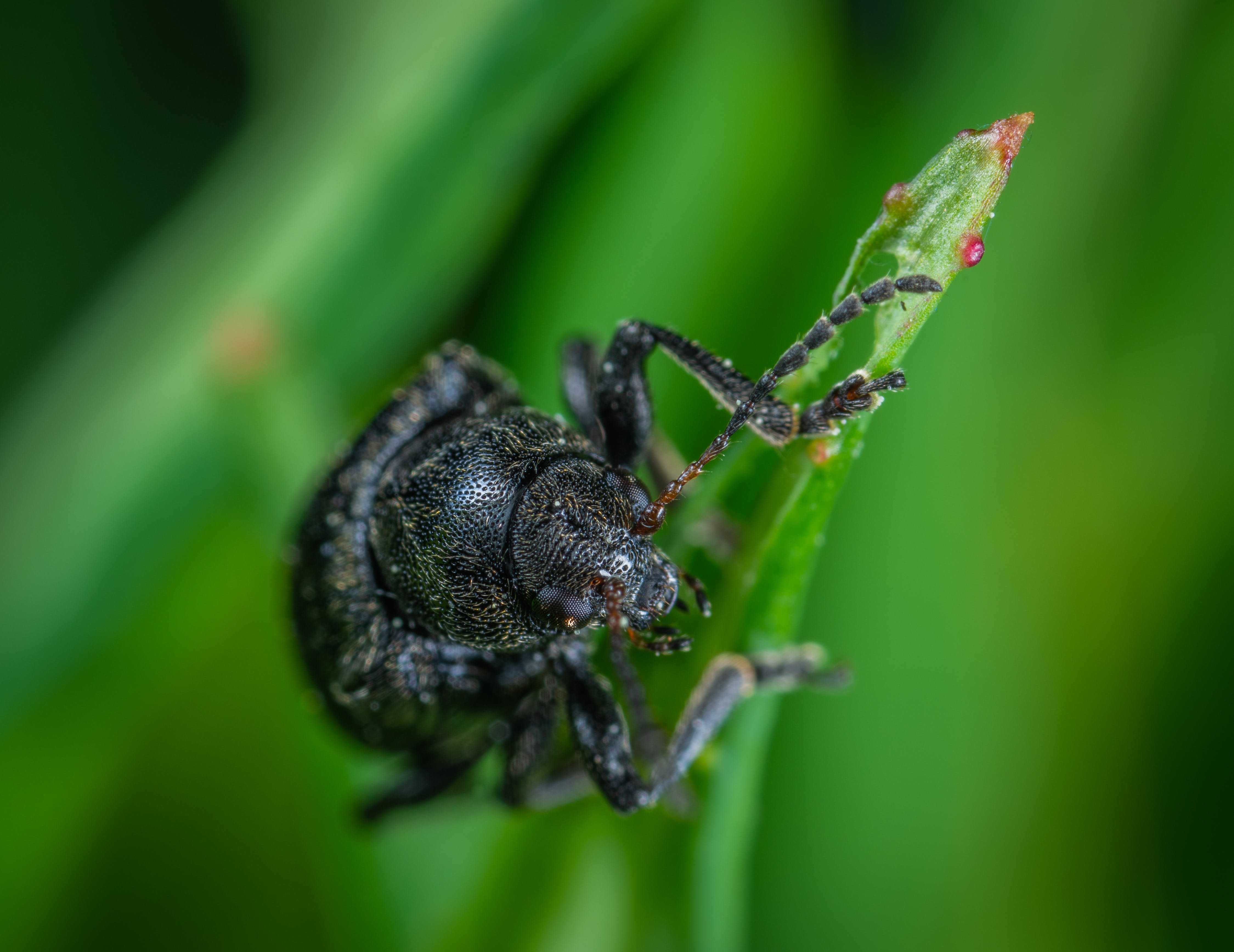 Close Up Photo of Black Dung Beetle on Green Leaf