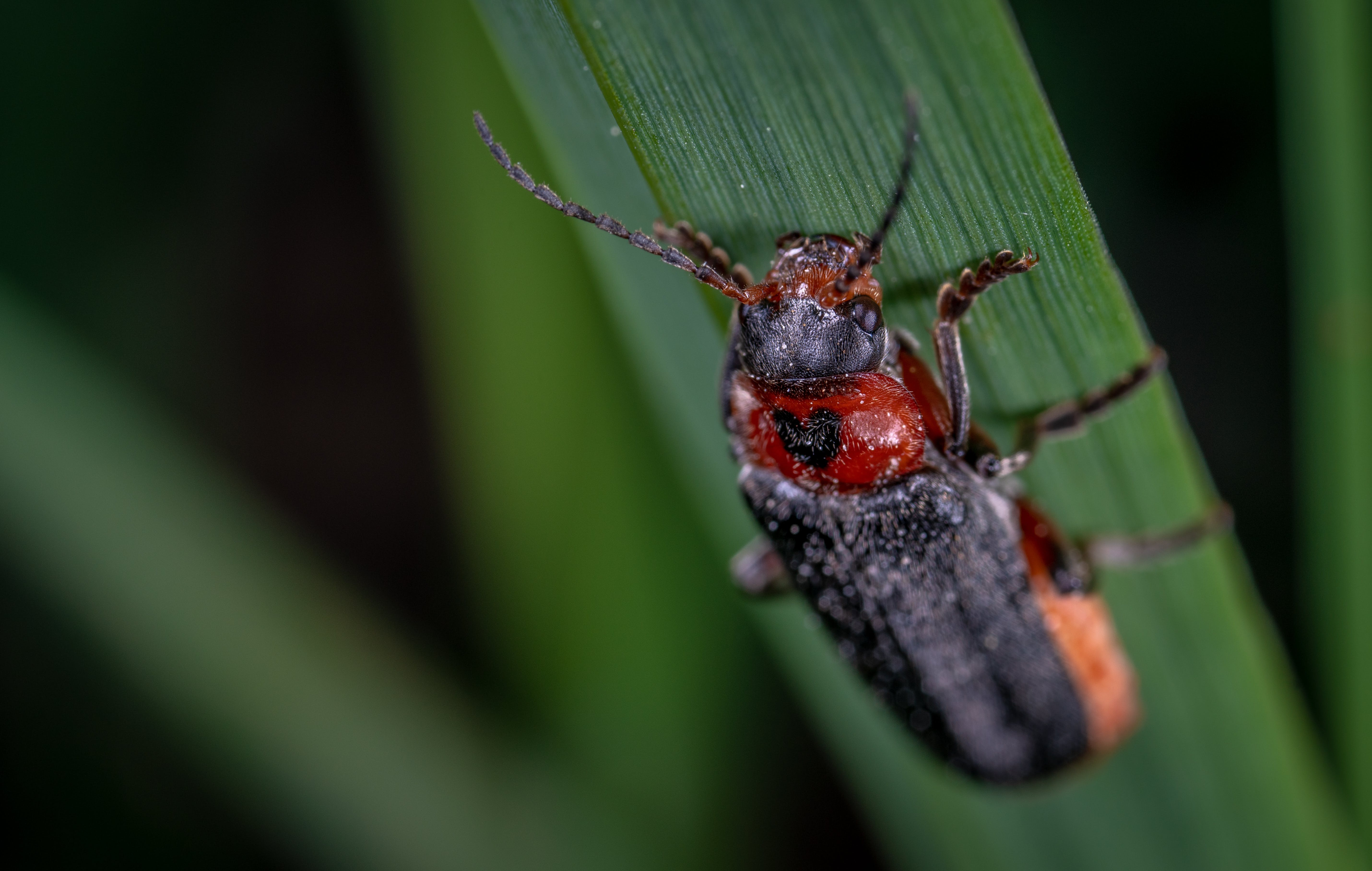 Blister Beetle Perching On Green Leaf