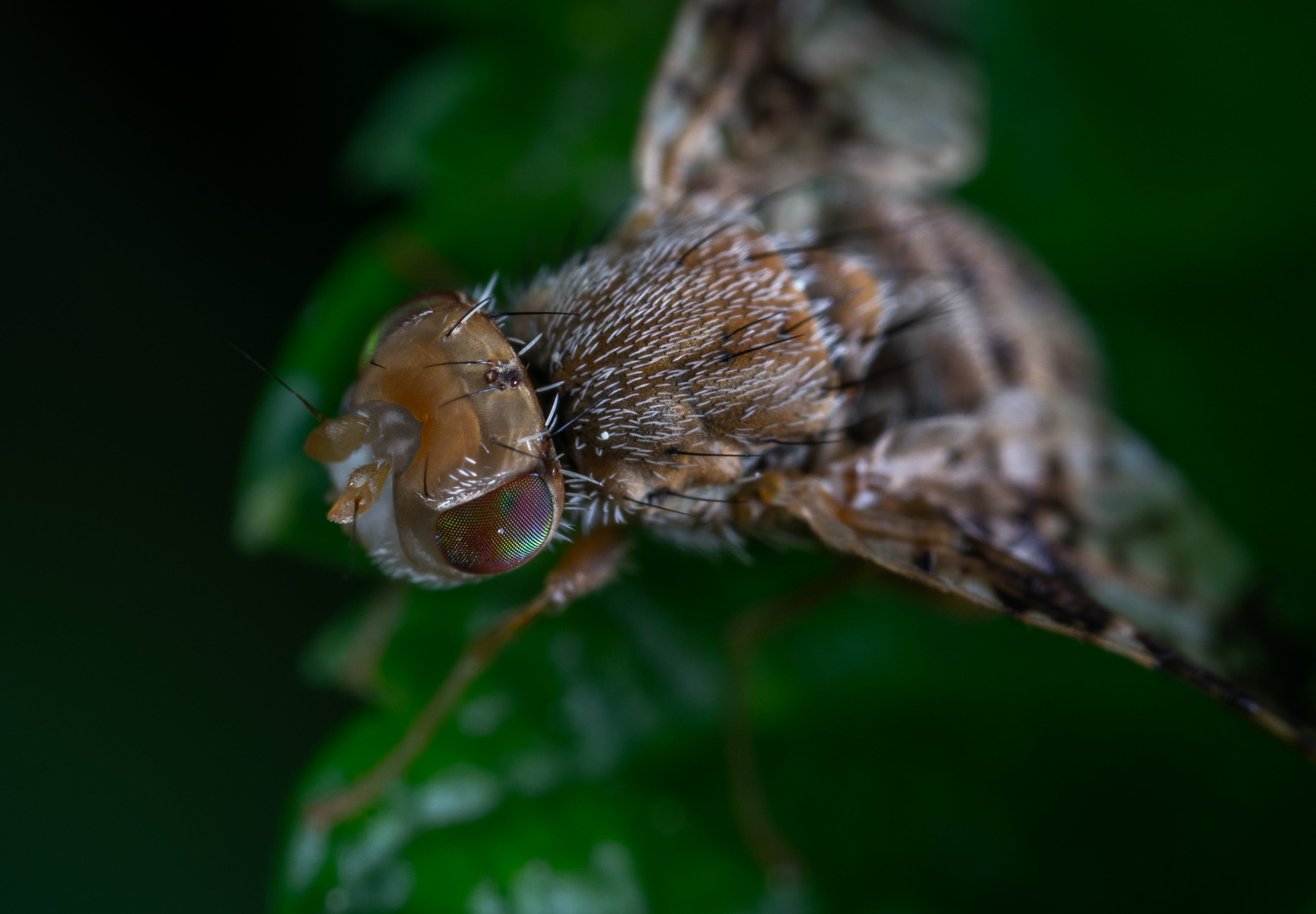 Brown Fly Perched On Green Leaf In Close-up Photography