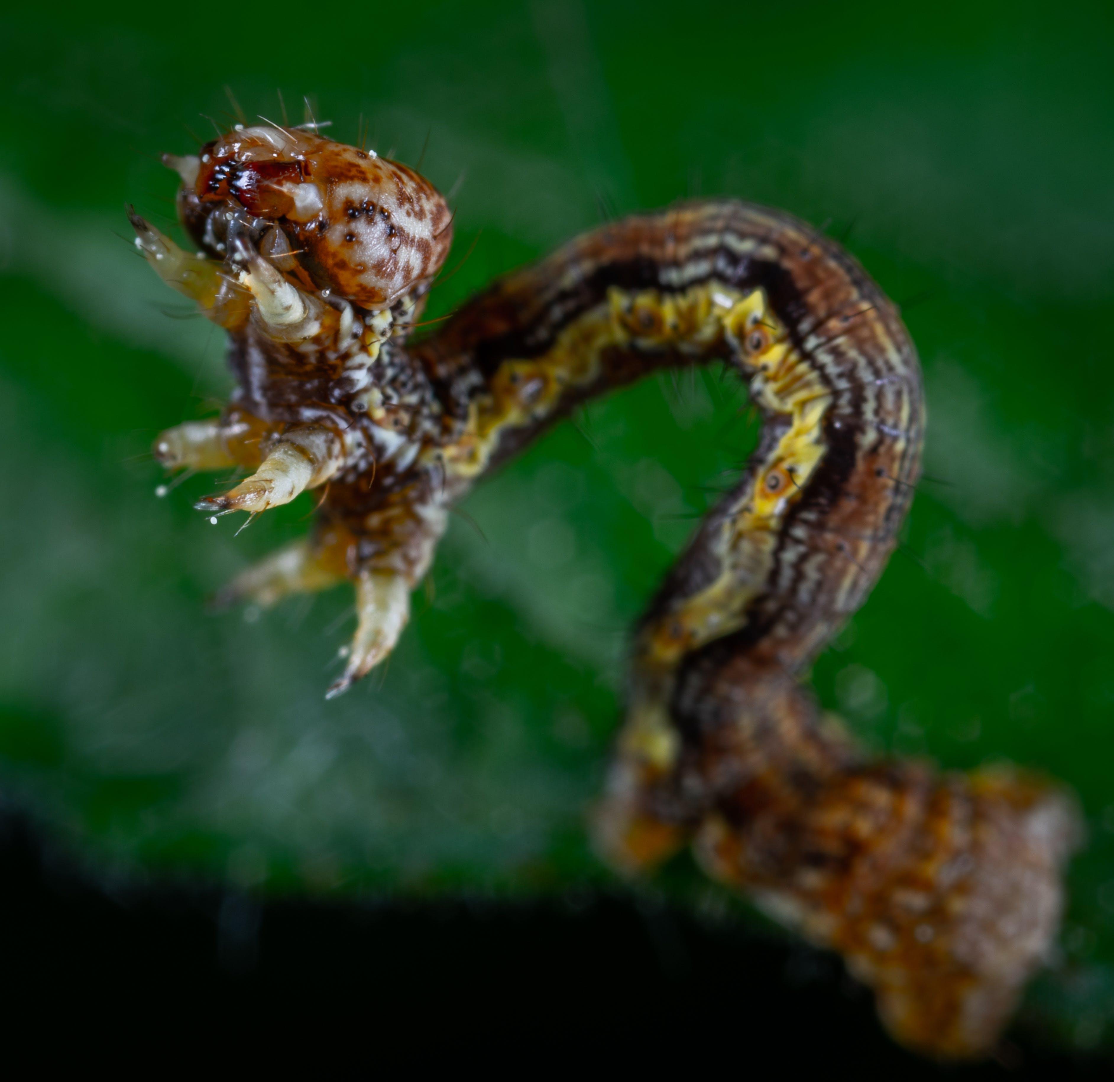 Free stock photo of caterpillar, insect, macro