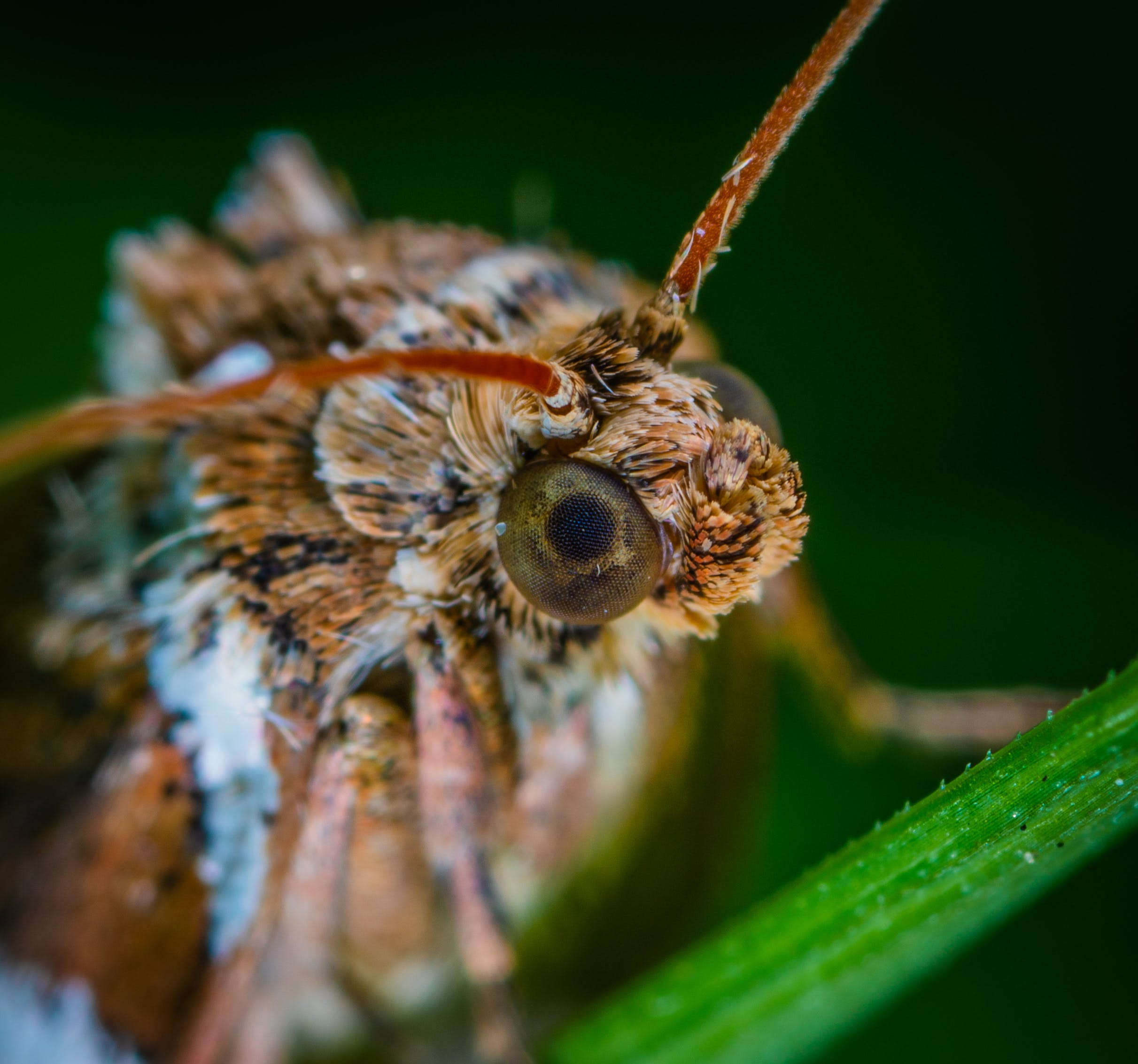 Macro Photo Of Brown Moth