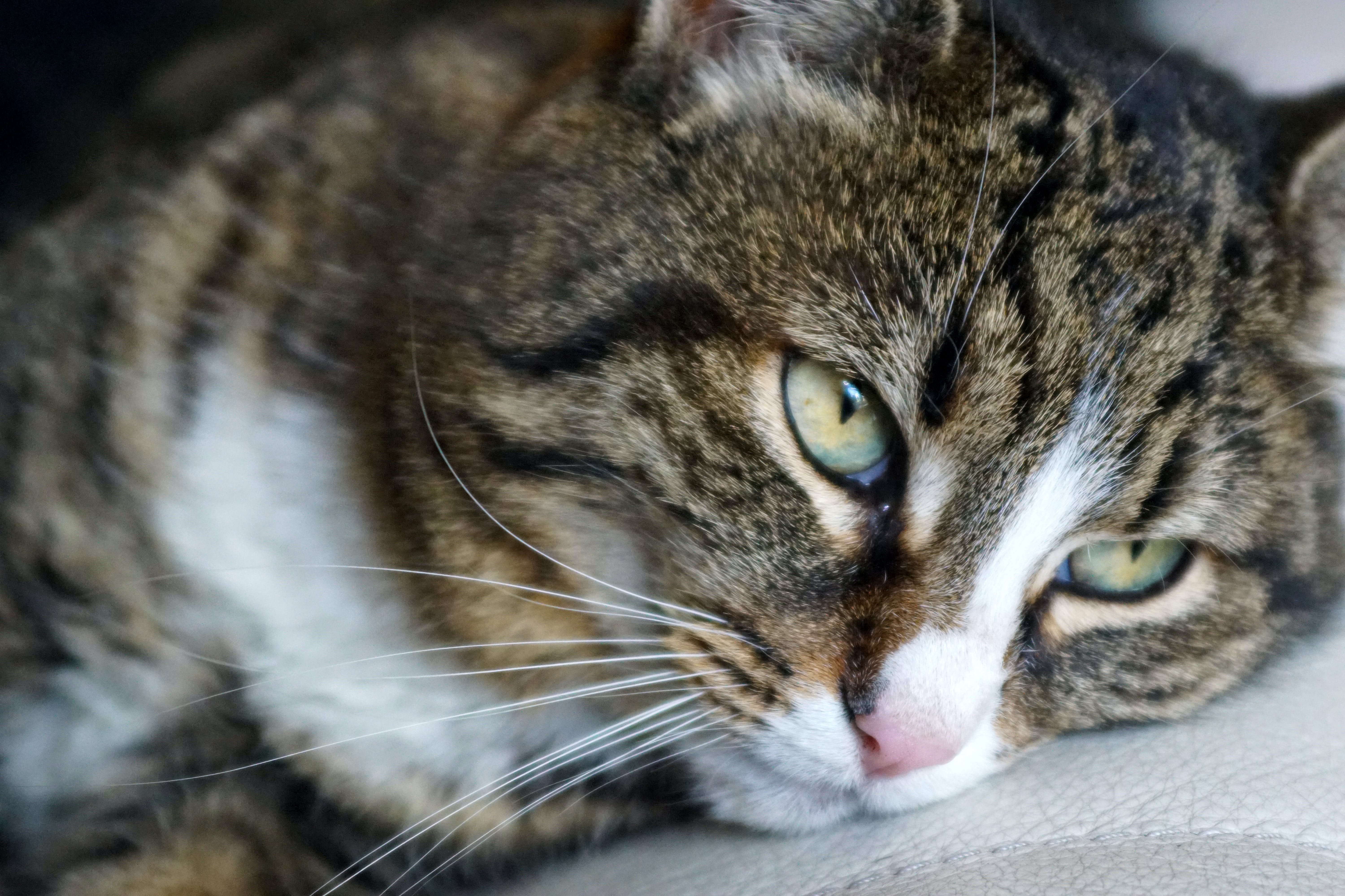 Free stock photo of brown, cat, cat eyes, close-up