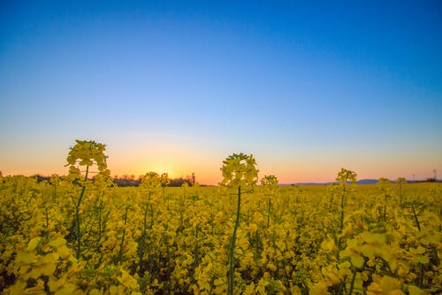 Landscape Photography of Yellow Flower Field Under Blue Sky during Daytime