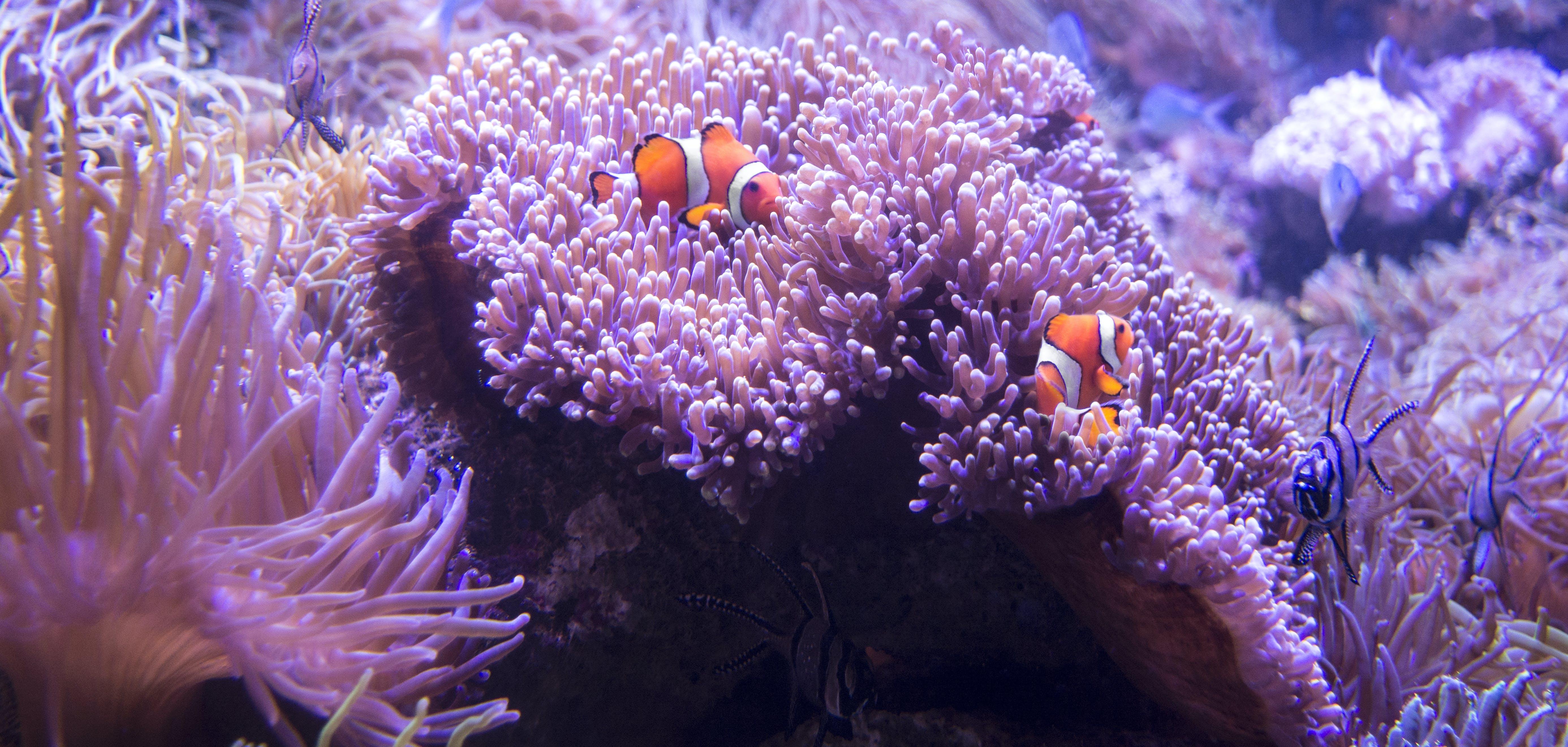 Безкоштовне стокове фото на тему «бар'єрний риф, корал, корали, морська анемона»