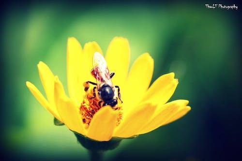 Ảnh lưu trữ miễn phí về ảnh macro, con ong, con vật, lương thành thảo