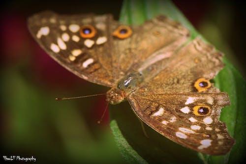 Ảnh lưu trữ miễn phí về ảnh macro, Con bướm, con vật, lương thành thảo