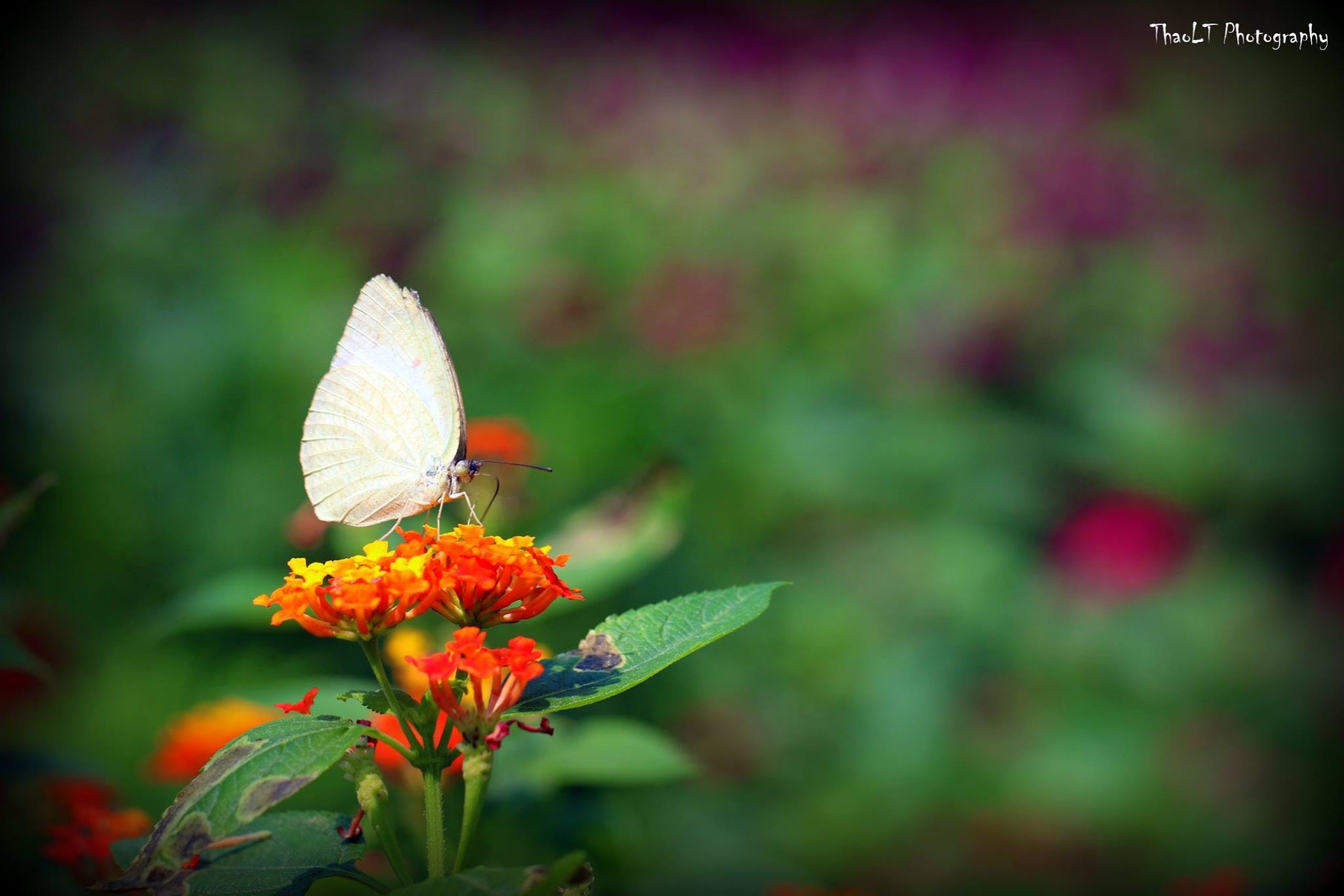 Free stock photo of animal, beautiful flowers, butterfly, Luong Thanh Thao
