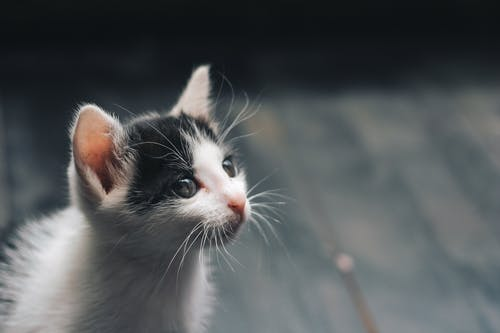 Depth of Field Photograph of White and Black Kitten