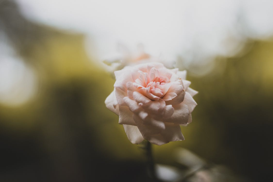 Selective Focus Photo of Pink Rose Flower