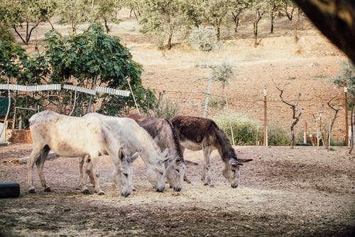 Two White and Two Brown Donkeys Near Plants