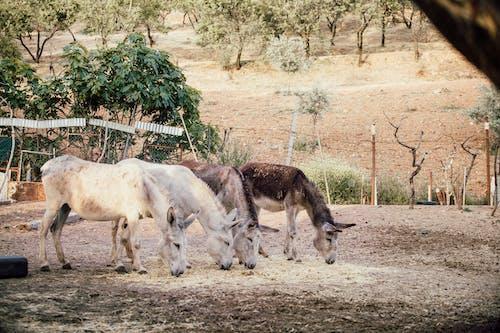 Foto stok gratis beternak hewan, bidang, binatang, bulu