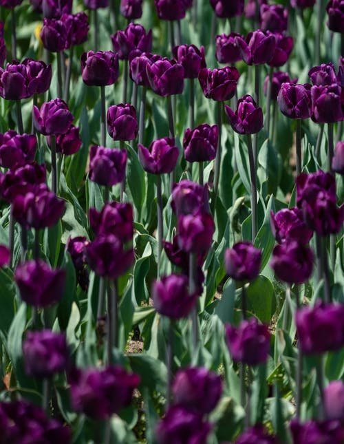 Dark Purple Tulip Flowers