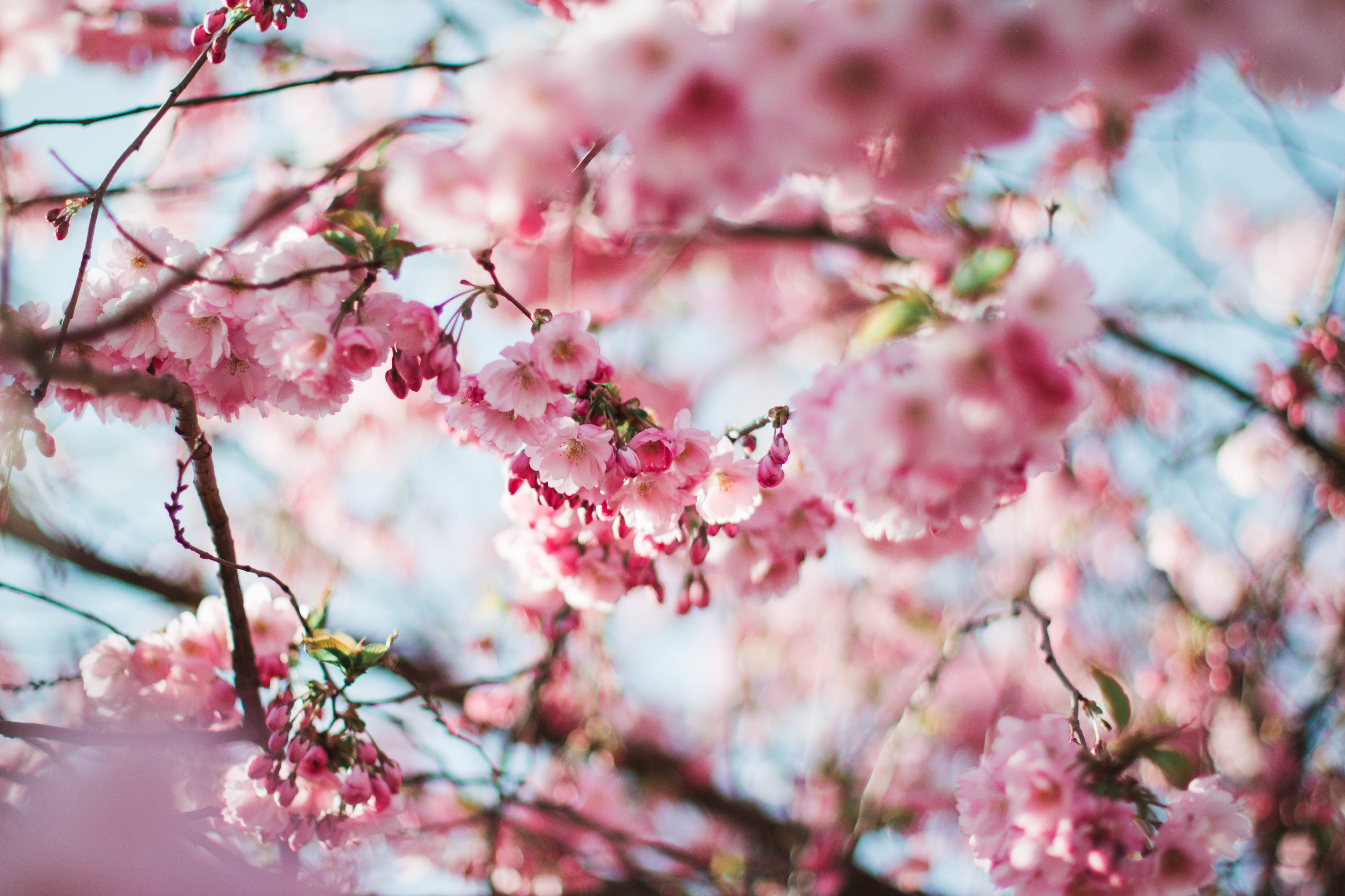 Free stock photo of nature, flowers, spring, tree