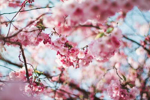 Foto stok gratis berbayang, berbunga, berkembang, bunga sakura