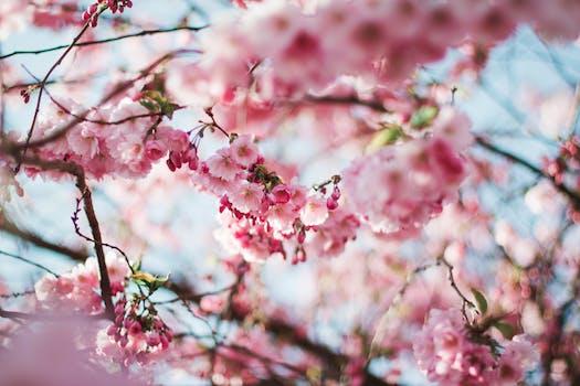 Pink flower field free stock photo pink petaled flower cherry blossom tree mightylinksfo