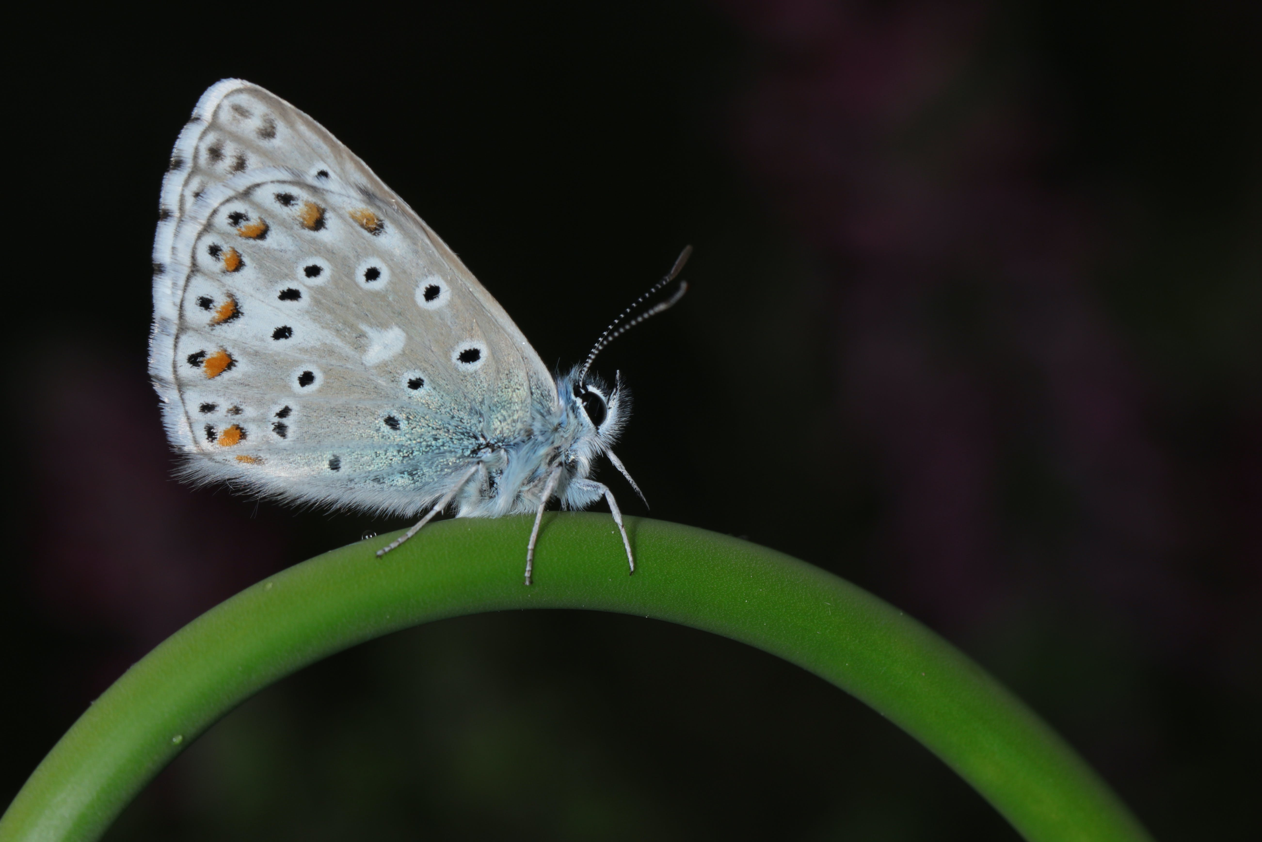 Common Blue Butterfly Perching on Green Stem in Close-up Photography