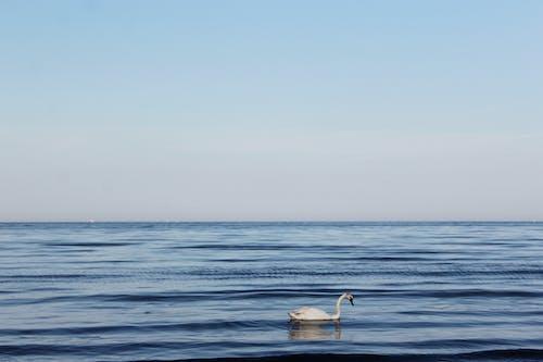 Foto profissional grátis de cisne, mar
