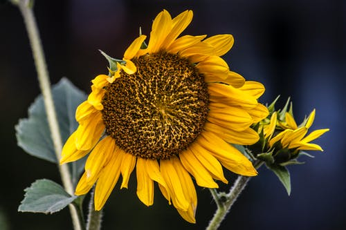 向日葵, 圖標, 夏天, 季節 的 免費圖庫相片