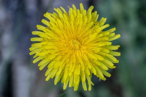 Ilmainen kuvapankkikuva tunnisteilla keltainen, keskusta, kukka, kulta
