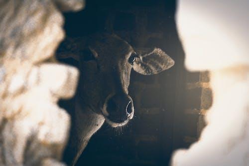 Fotobanka sbezplatnými fotkami na tému #wildlife, chov zvierat, fotografie vo voľnej prírode, krava