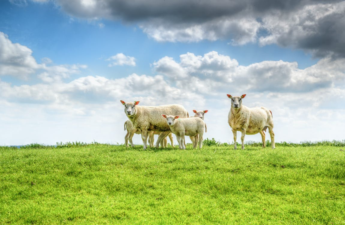 ovejas en la pradera