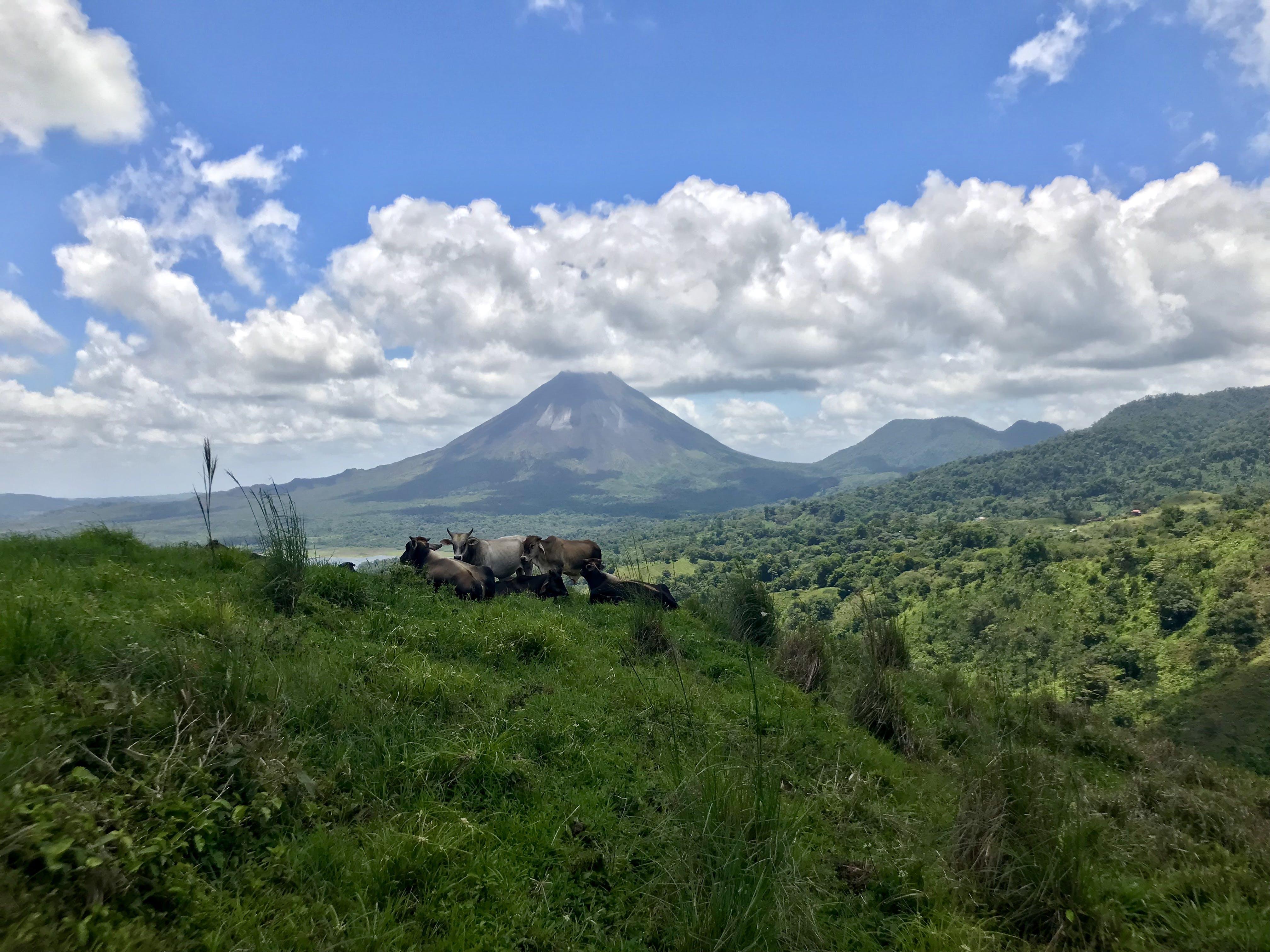 Free stock photo of backpackgezin.nl, Costa Rica, cows, El Castillo