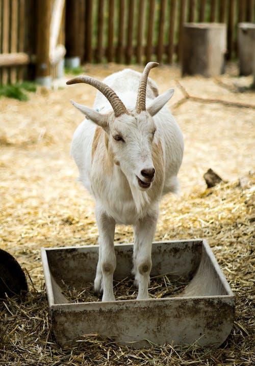Photos gratuites de chèvre, chèvre blanche, chèvre domestique, zoo