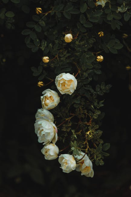 White rose with green plants