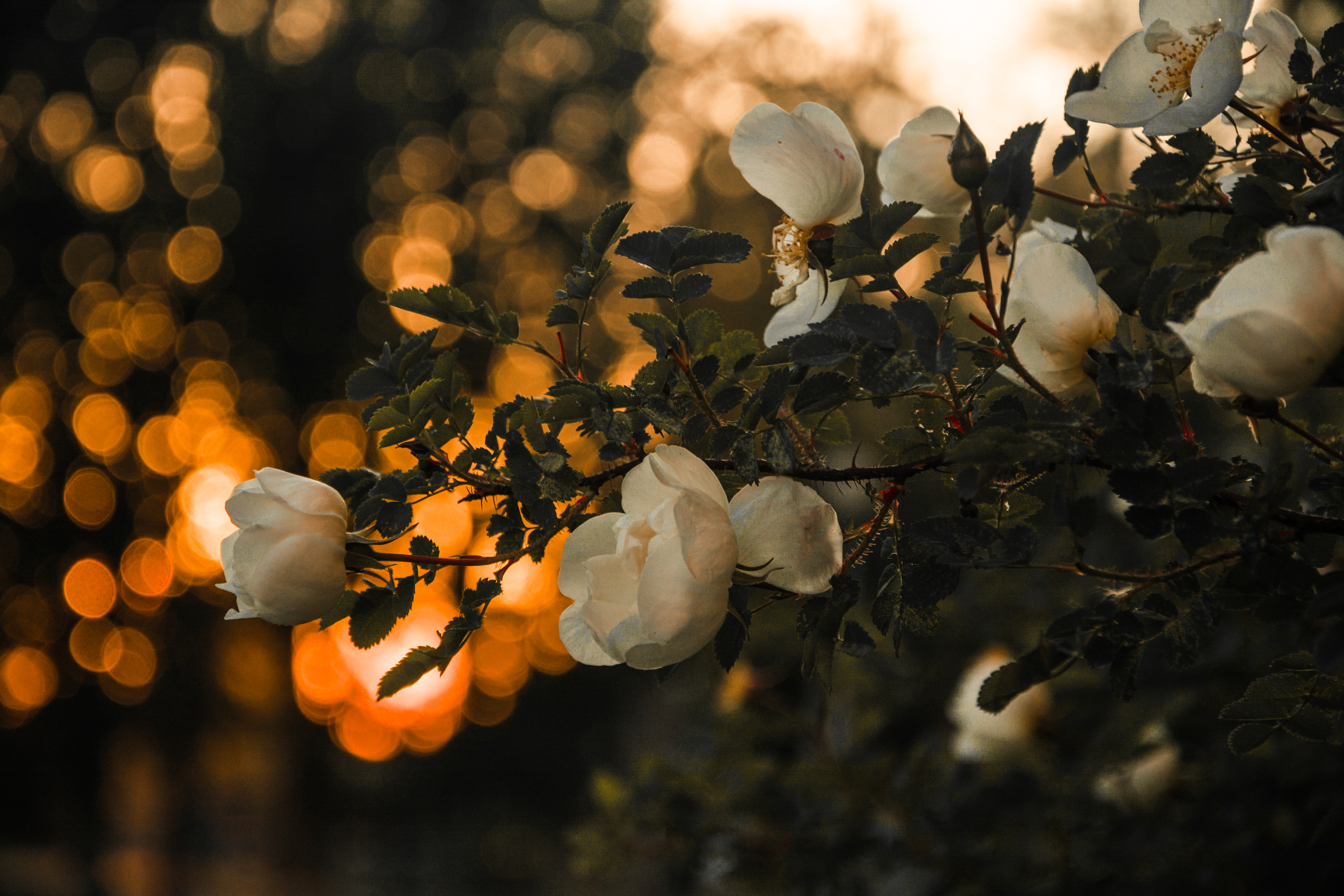 Selective Focus Photography of White Petaled Flowers