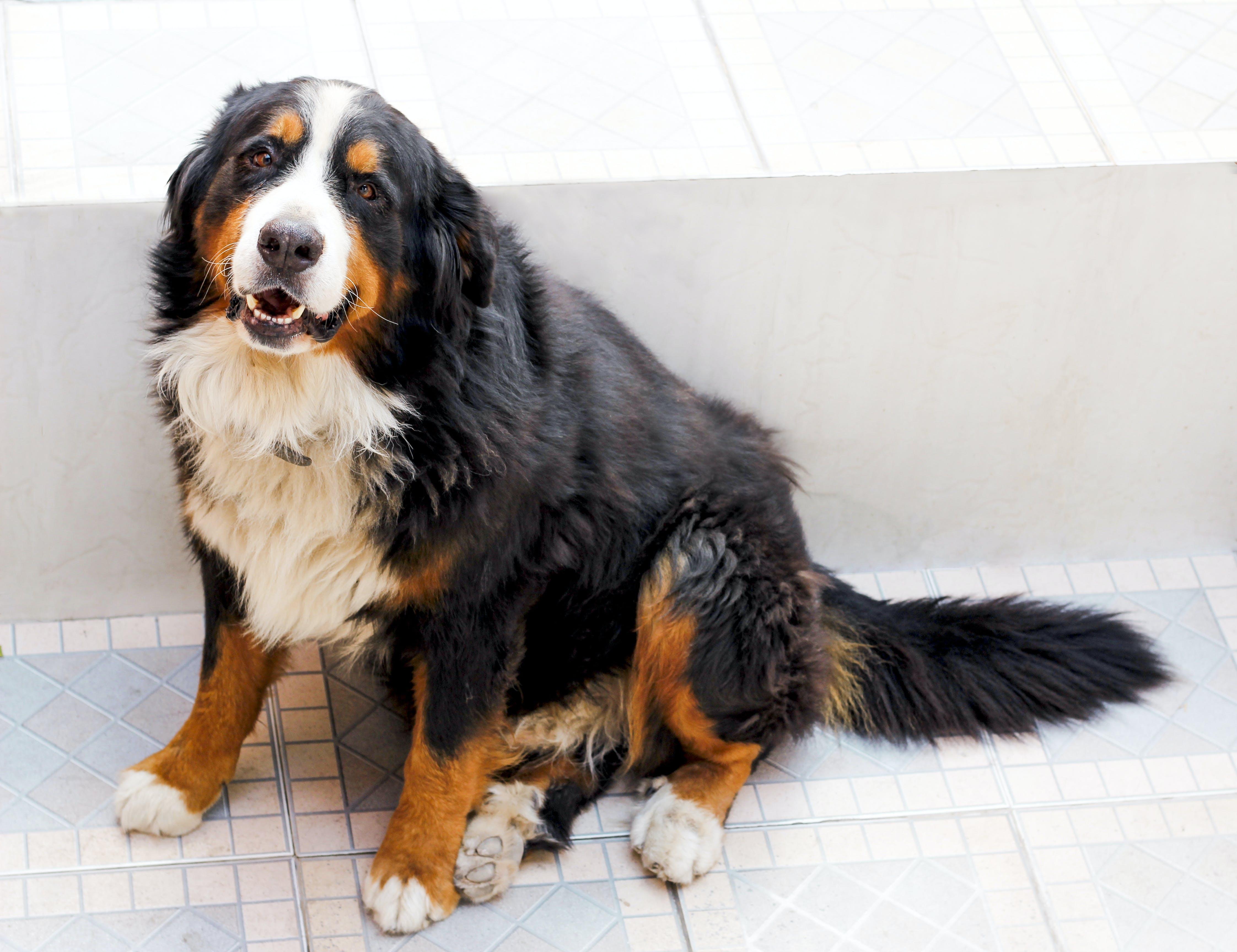 bernese mountain dog, boiadeiro bernês, Cachorro