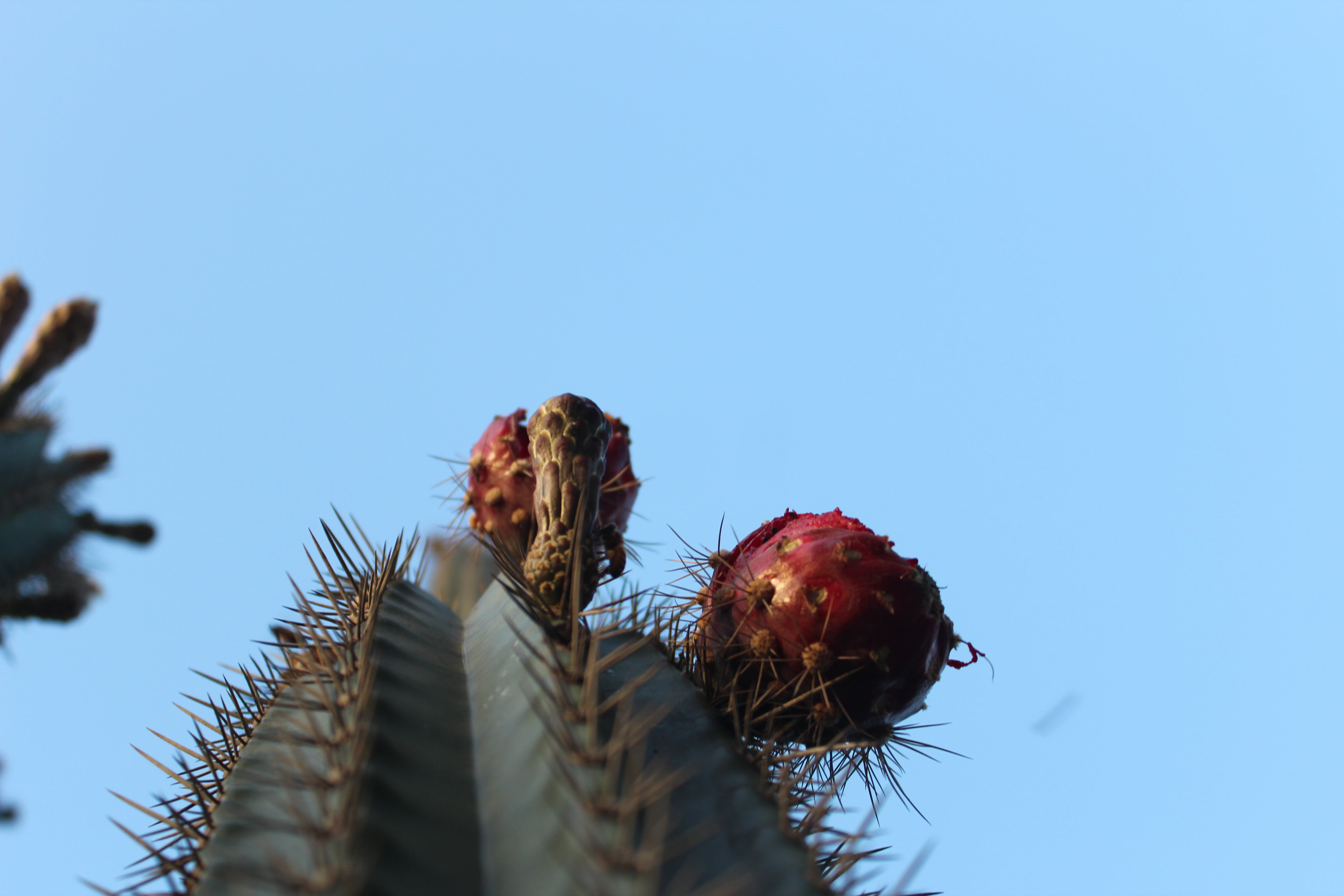 Free stock photo of cacti, cactusvruchten, Pickley pear