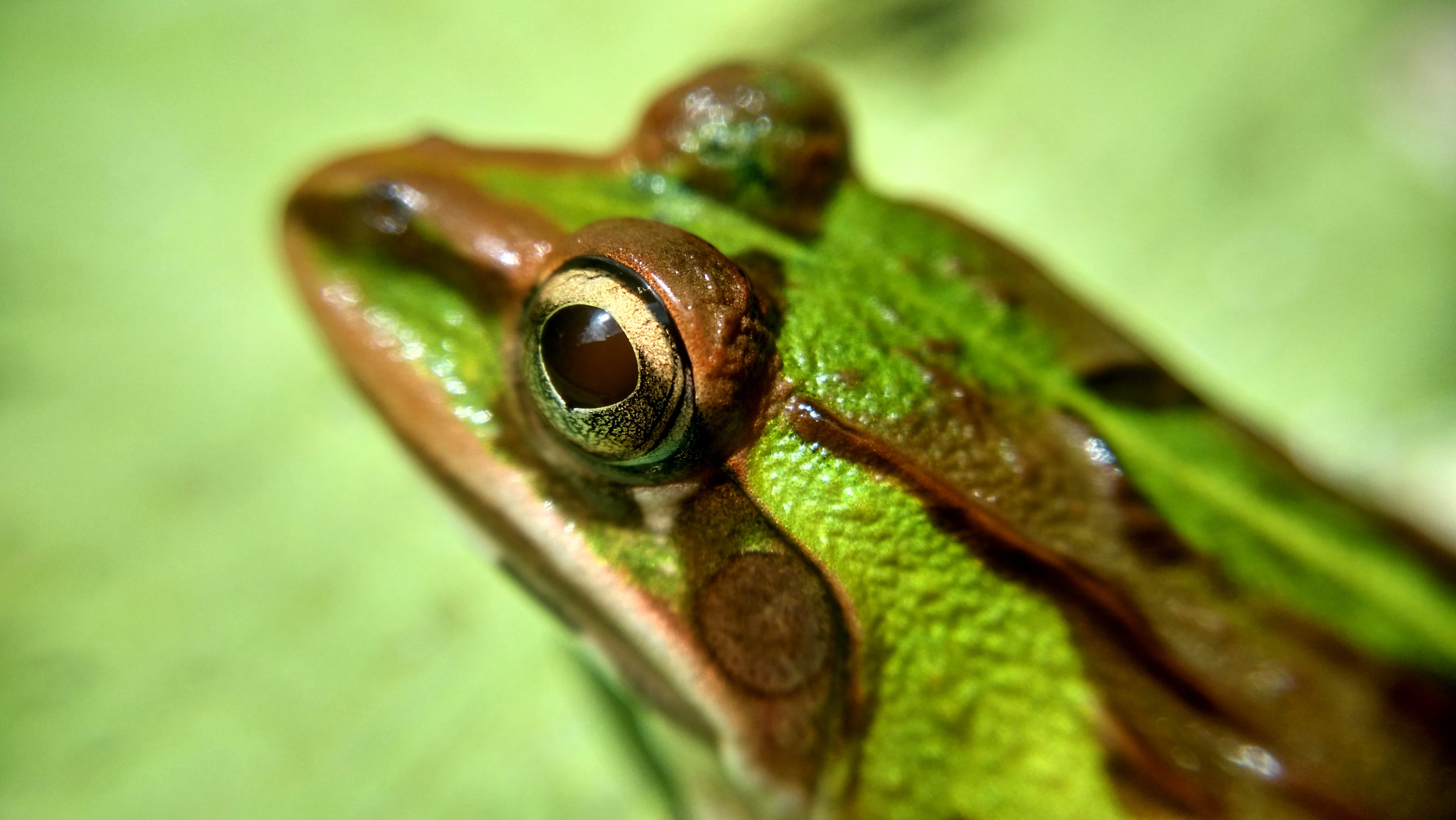 Green and Brown Frog