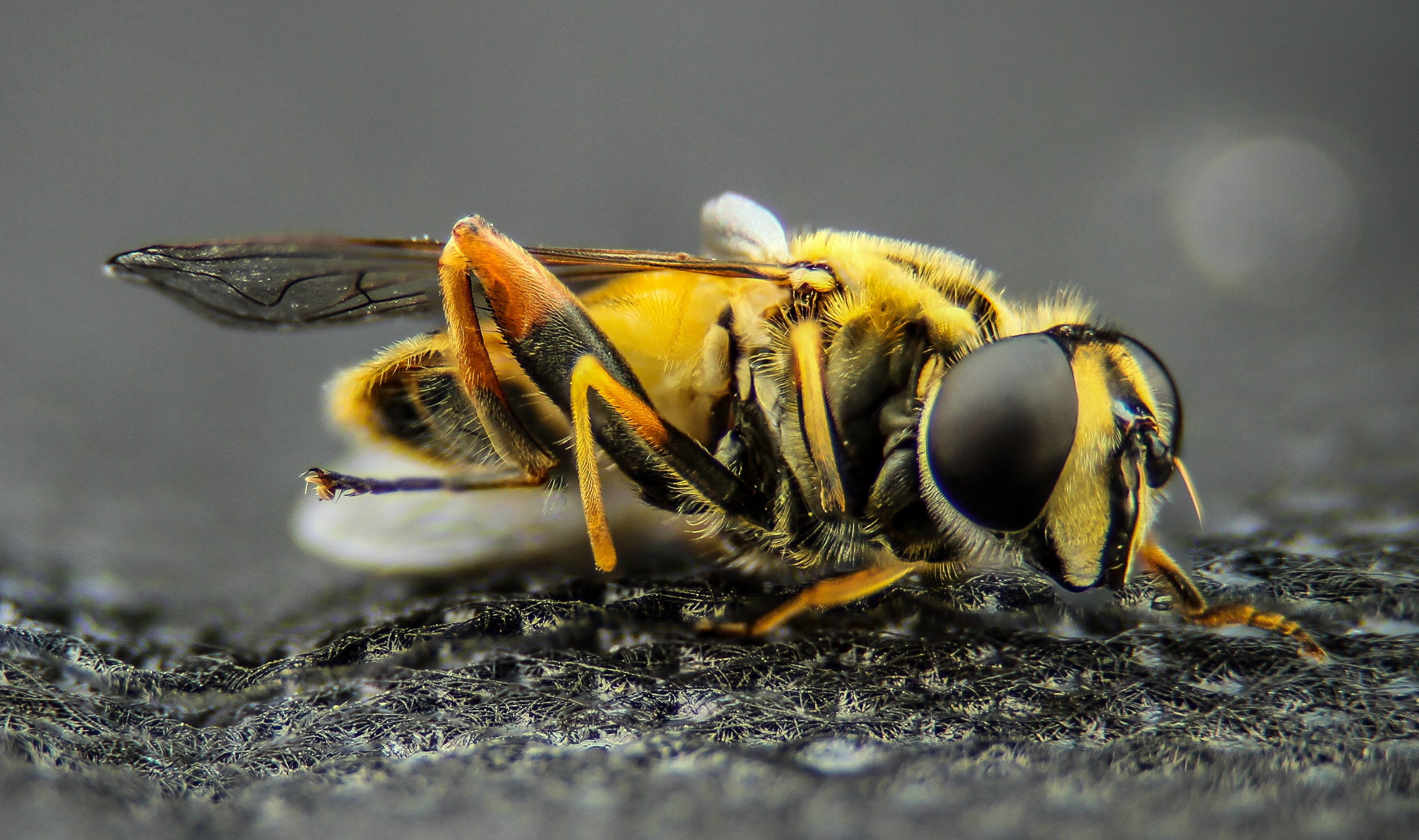 Macro Photo of Yellow Wasp