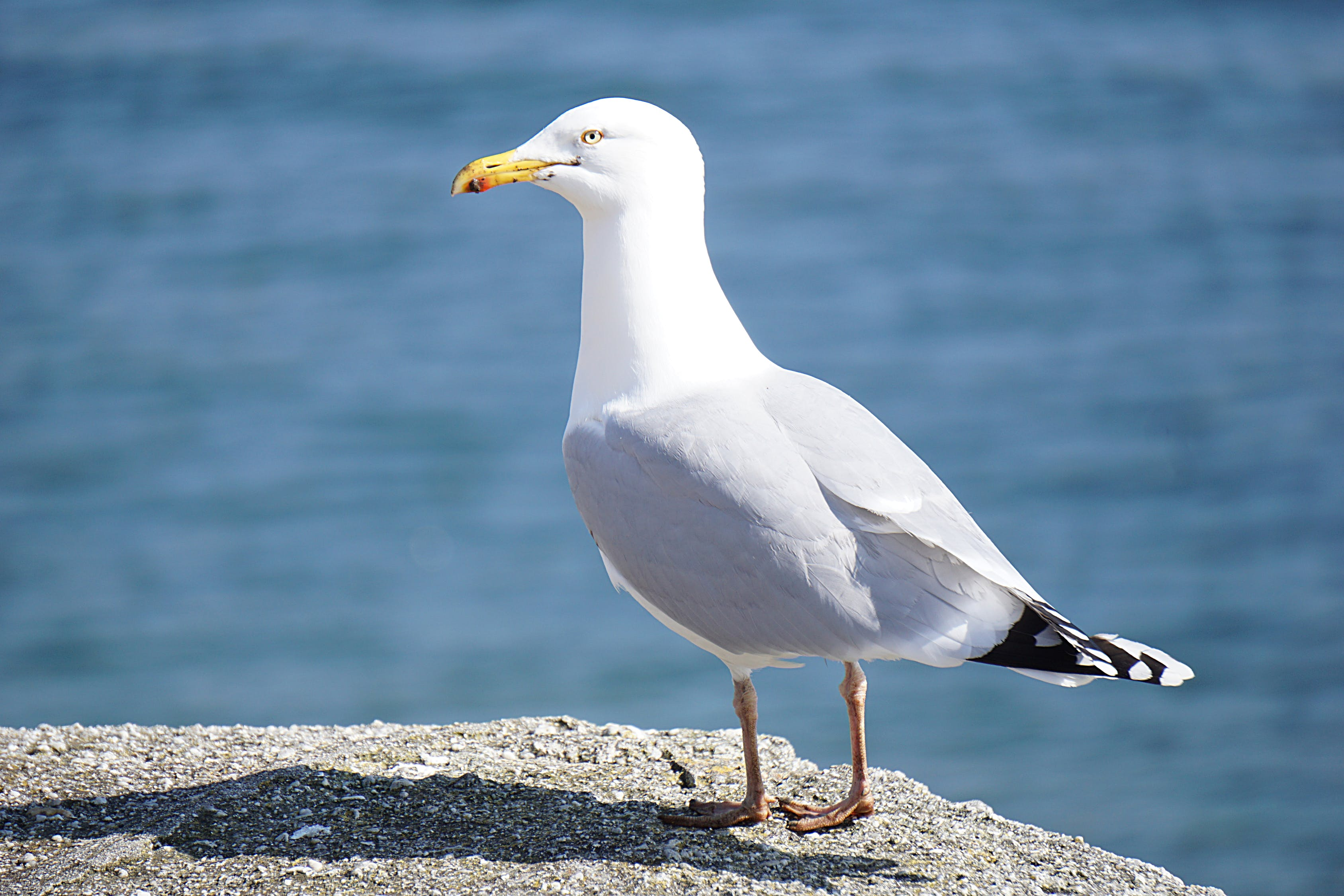 Seagull Standing on Rock