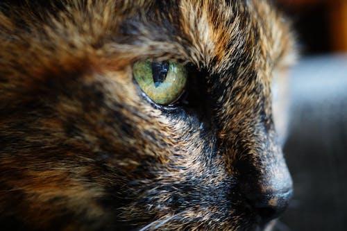 Ilmainen kuvapankkikuva tunnisteilla eläin, eläinkuvaus, kilpikonnakuvioinen kissa, kissa