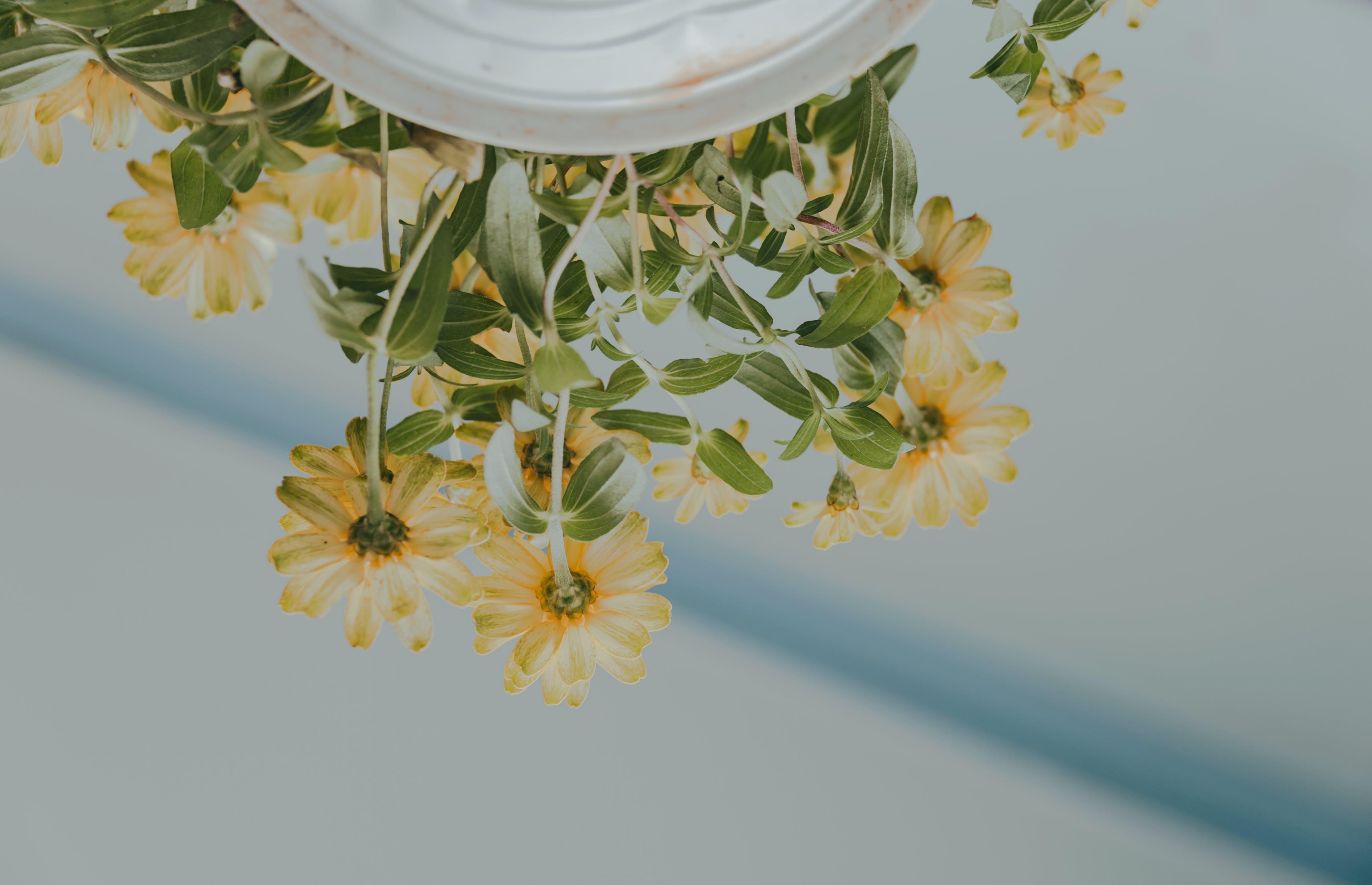 คลังภาพถ่ายฟรี ของ กระถาง, กลีบดอก, การเจริญเติบโต, กำลังบาน